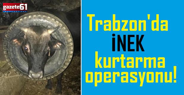 Trabzon'da inek kurtarma operasyonu!